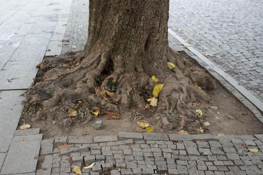 Tree root pushing through pavement