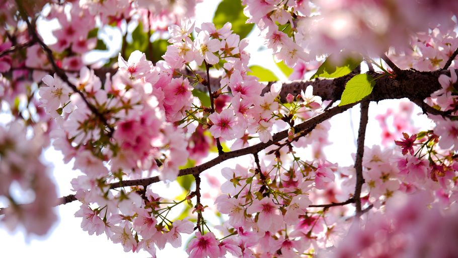 Pink sakura blooms and green leaves offer delicate beauty on the gnarled branch of a cherry tree.