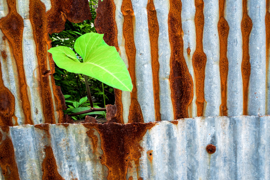 A morning glory leaf pokes through the hole in a rusted galvanized steel wall