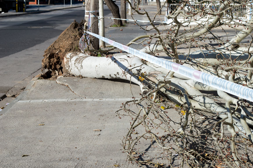 A white birch tree is fallen on a sidewalk and is surrounded by caution tape. Some sidewalk heave.